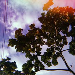 huji tree