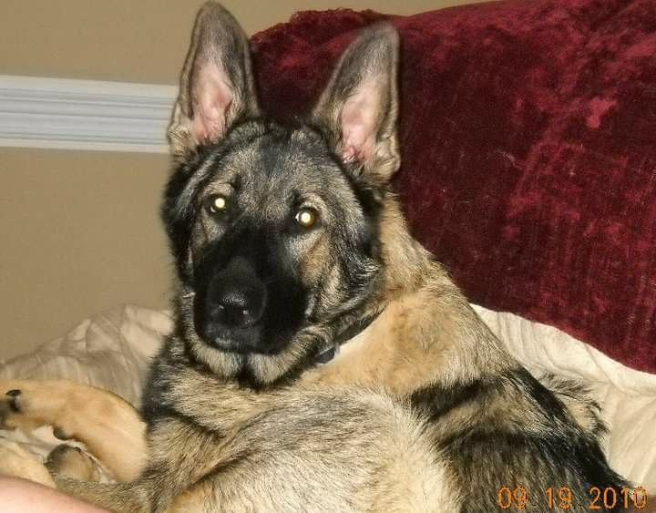 My spoiled baby @ncsoutherngal #germanshepard  #freetoedit