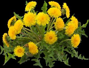 dandelion dandelions cottagecore plants weeds freetoedit