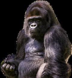 gorila primate mono animales salvaje freetoedit