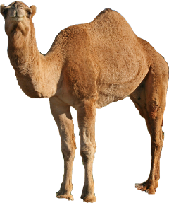 camel sticker twin twins camels freetoedit