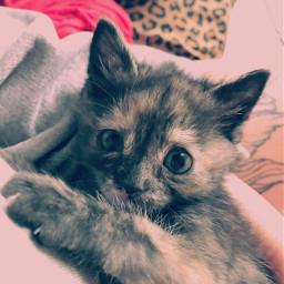 champloo samurai kitten 5weeksold kitty freetoedit