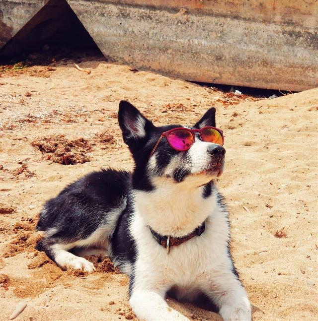 😎❤😁  #myphotography #puppy #cool #husky #cute #onthebeach #vacation #dog #petsandanimals #freetoedit
