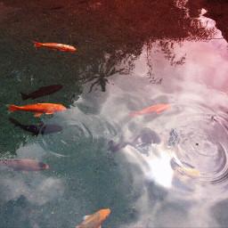 pcwaterislife waterislife myphoto koi spring