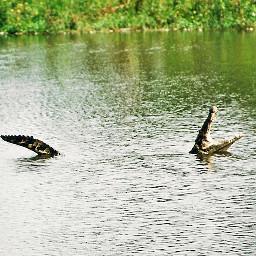 pcwaterislife waterislife water river crocodile
