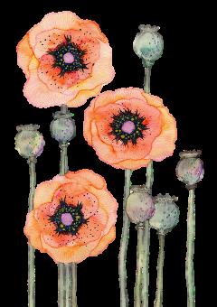 flower flowers orange poppy watercolor freetoedit