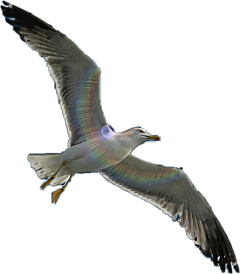 freetoedit tag seagulls seagull fly scseagull