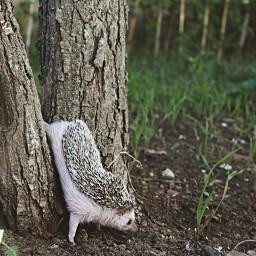 hedgehog pet photooftheday photography photostory freetoedit