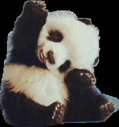 panda animal freetoedit