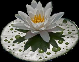 nénuphar freetoedit scwaterlilies waterlilies