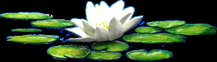 lotus lilies freetoedit scwaterlilies waterlilies