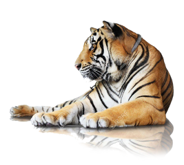 freetoedit amazing big animal tiger
