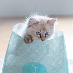 pcpetsofpicsart petsofpicsart siberiancat pets kitty