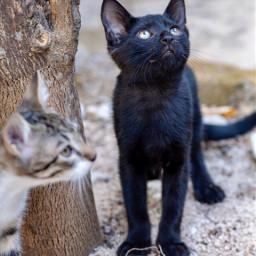 pcpetsofpicsart petsofpicsart cat lovely pets