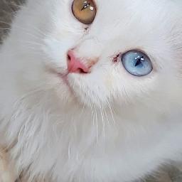 petlove eyes pcpetsofpicsart petsofpicsart