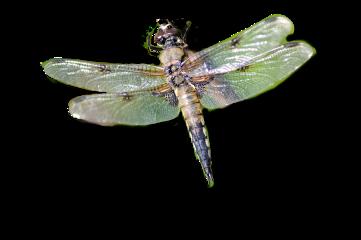 dragonfly freetoedit