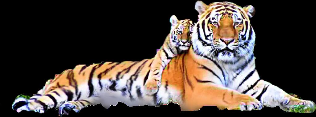 #freetoedit #tiger&babyCub @kassie_anderson