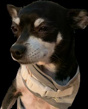 #chihuahua #chihuahualove #dog #smalldog #doggy #canine #diamond #freetoedit