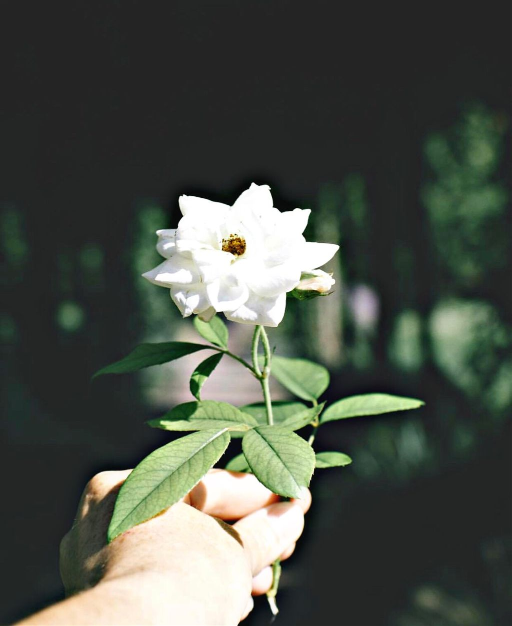 #photography #white #rose #interesting