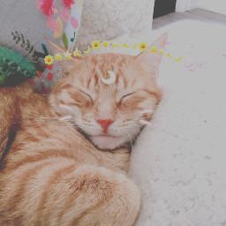 freetoedit tiktokstickers catsofpicsart petsofpicsart cat