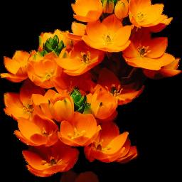 freetoedit flower scorange orange