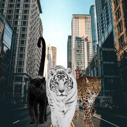 ecgiantanimals giantanimals freetoedit tigers panther