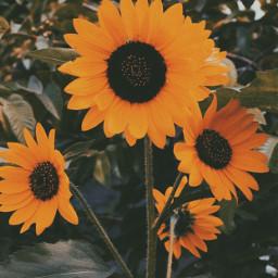 summertime sunflower vsco aesthetic