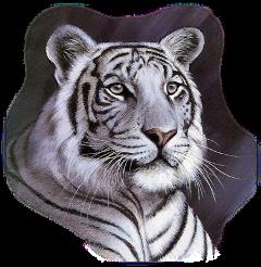 ladymc whitetiger tiger animals face freetoedit