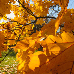 pcleaves leaves freetoedit fall goldenyellow
