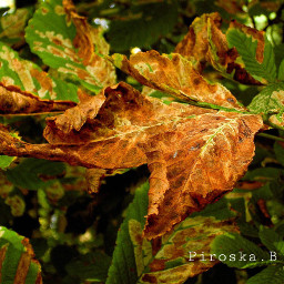 automne leave myphoto naturelovers naturephotography pcleaves freetoedit