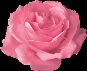flower flowers rose pink pinkrose freetoedit
