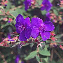 freetoedit flowers nature purple purpleflowers