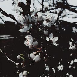 freetoedit background backgroundforyou black flower