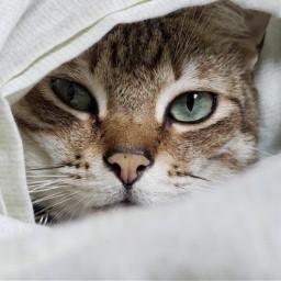 cat cute pets pet kitty freetoedit