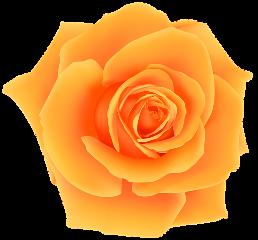 rose orange orangerose flower flowers freetoedit