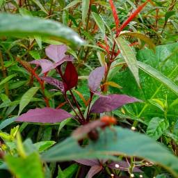 freetoedit indonesian plant leaves grasshoper pcleaves