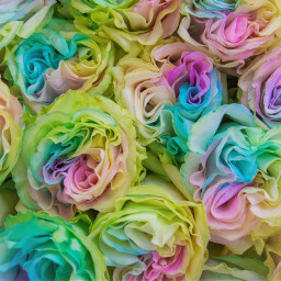 roses colorful rainbow colored flowers freetoedit