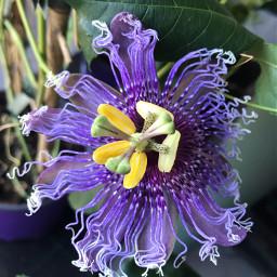 freetoedit nature flower passiflora purple