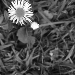pcblacknwhite blacknwhite flowers grassandflowers blackandwhite