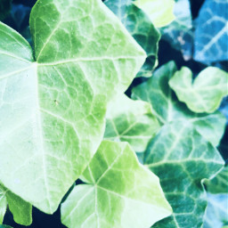 nature green leaves greenleaves ivy