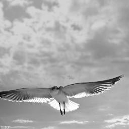 pcblacknwhite blacknwhite freetoedit seagullinflight myoriginalphoto blackandwhite