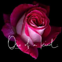 rose freetoedit oneofakind beautiful beauty