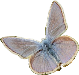 moth blue cream vintage insects freetoedit