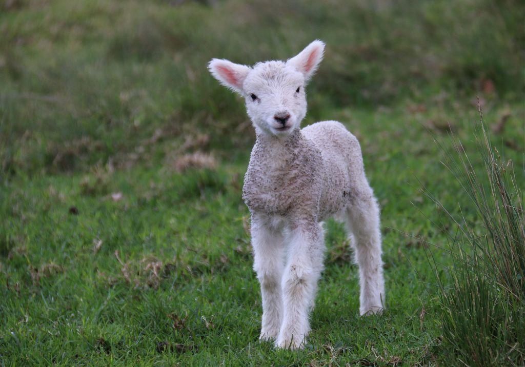Cute remixes please! Unsplash (Public Domain) #farmanimals #animal #animals #farm #freetoedit