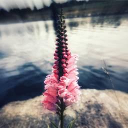 wildflower blur bokeh lake flower freetoedit