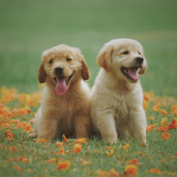 puppy animals dogs cute pets freetoedit
