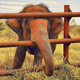 freetoedit elefant🐘 vida animais savana