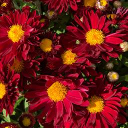 freetoedit florals mums red fall