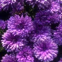 freetoedit purple mums florals floralbackgrounds