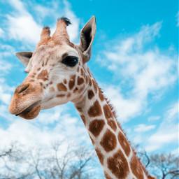 giraffe wildlife animal animals freetoedit
